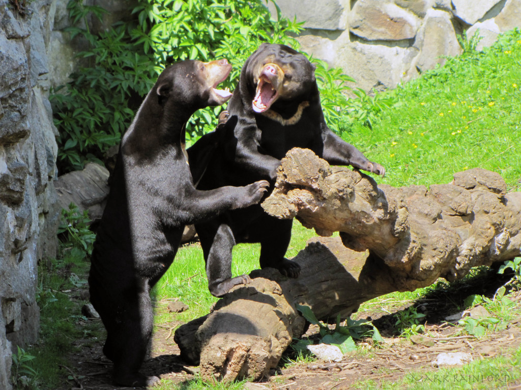 Edinburgh Zoo - Sun Bear
