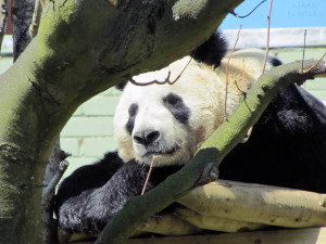 Edinburgh Zoo - Panda