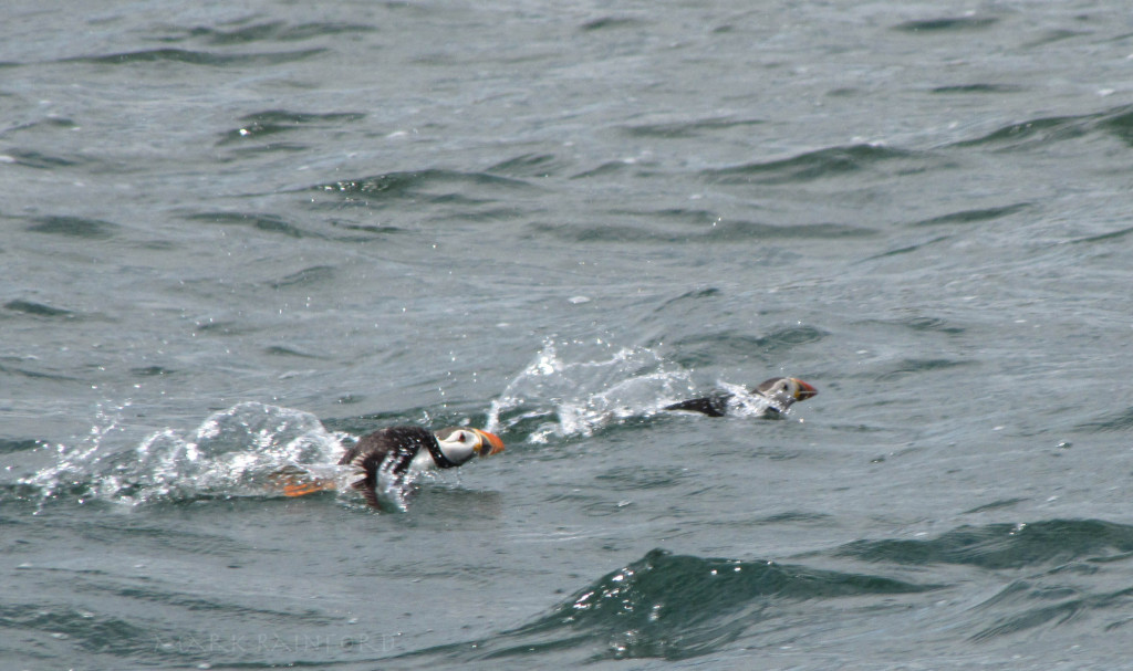 Firth Of Forth Puffins