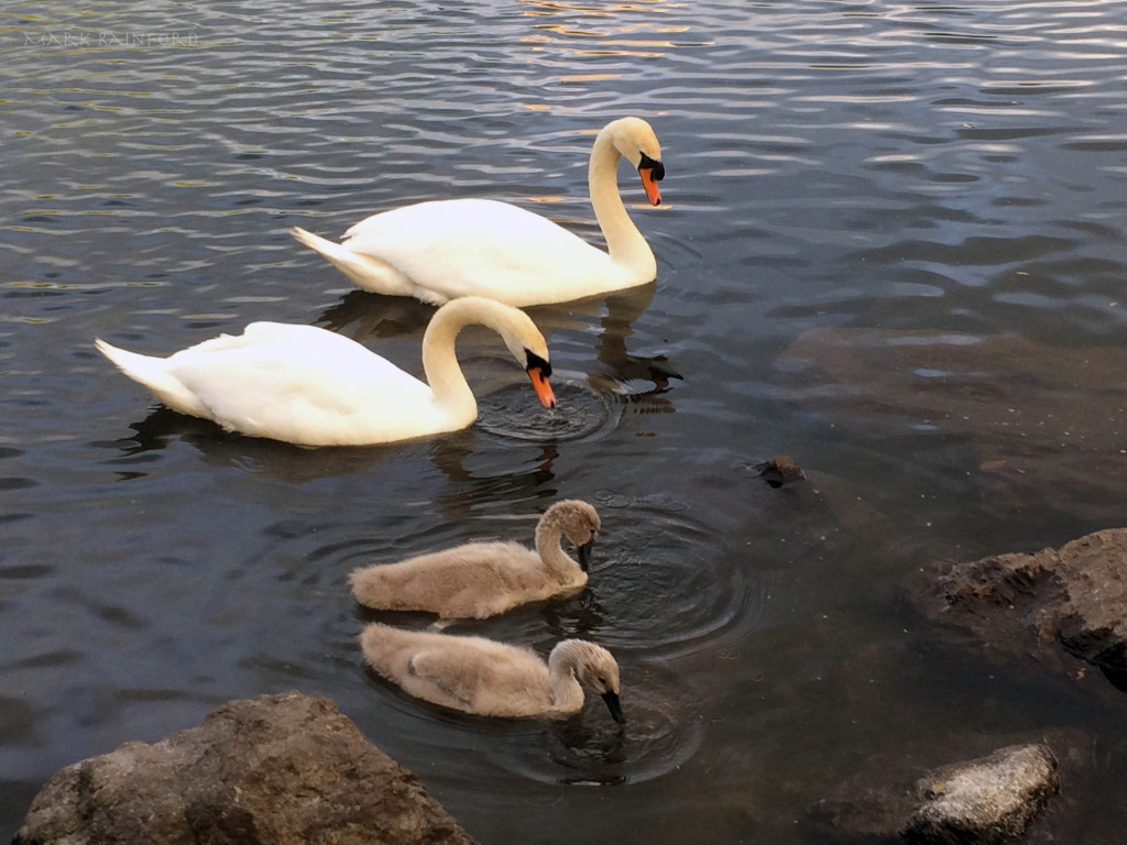 Figgate Park - Wildlife, Swans