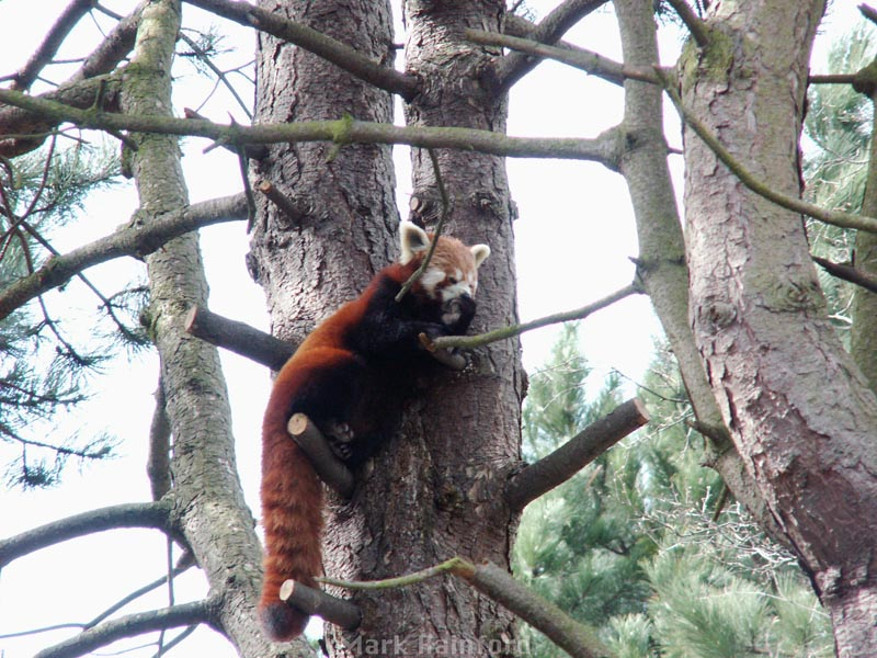 Red Panda at Edinburgh Zoo