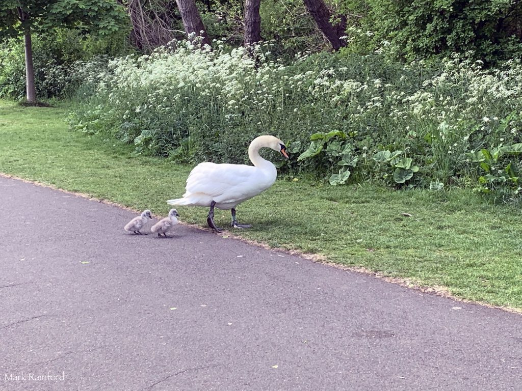 Swans Cygnets in Figgate Park